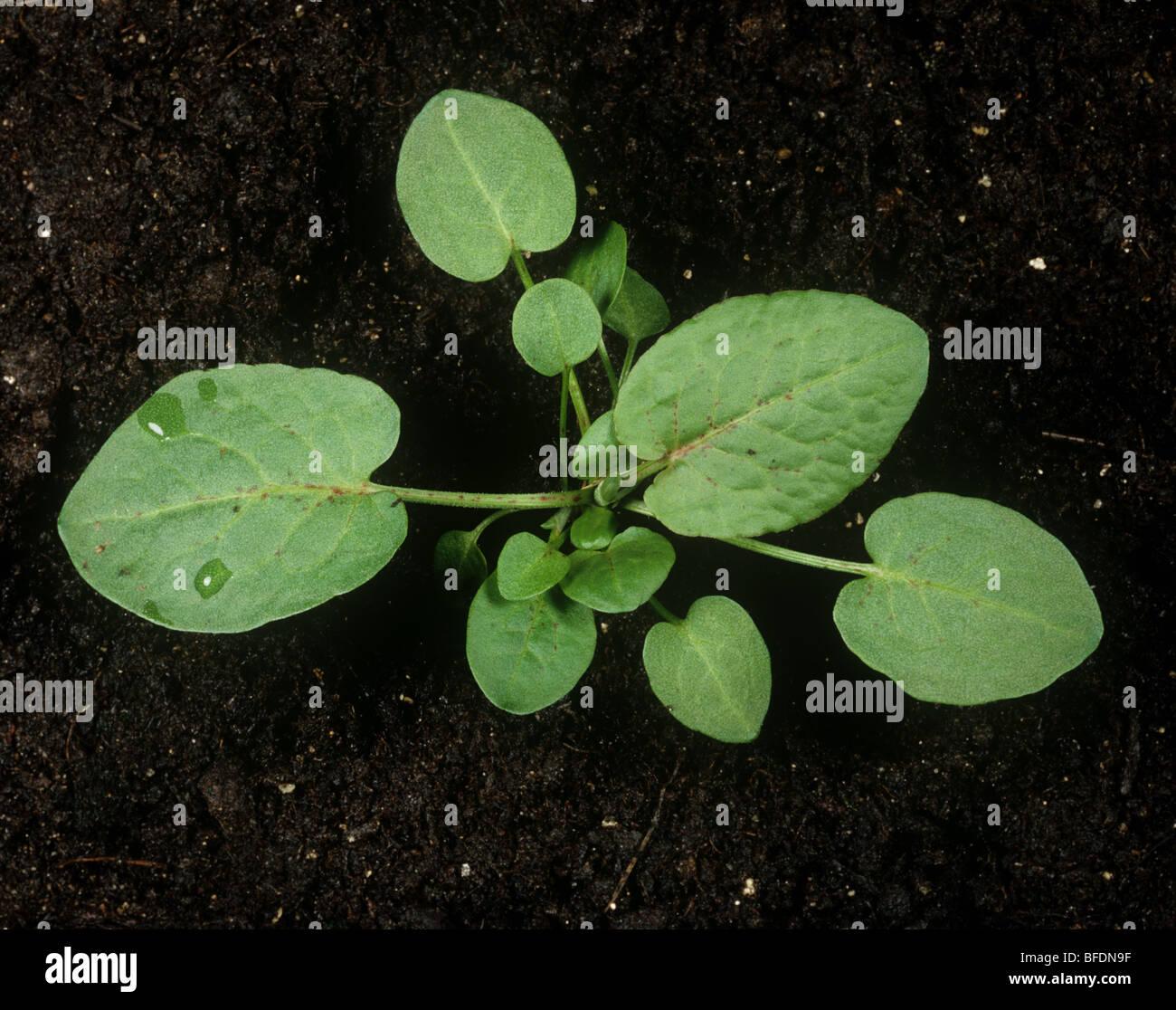 Vaste (Rumex obtusifolius) jeune plant sur fond de sol Photo Stock