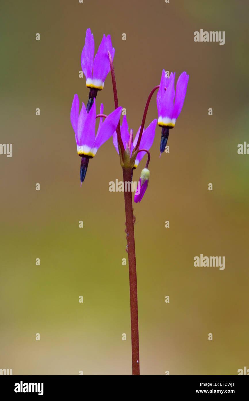 Shooting star Dodecatheon (fleurs) à Victoria, île de Vancouver, Colombie-Britannique, Canada Photo Stock