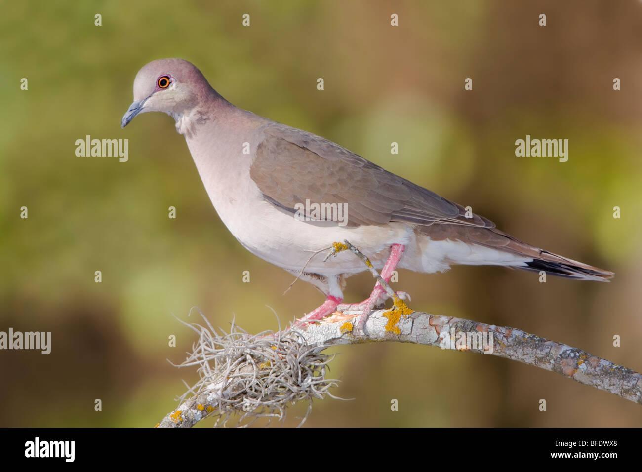 À pointe blanche colombe (Leptotila verreauxi) perché sur une branche dans la vallée du Rio Grande Photo Stock