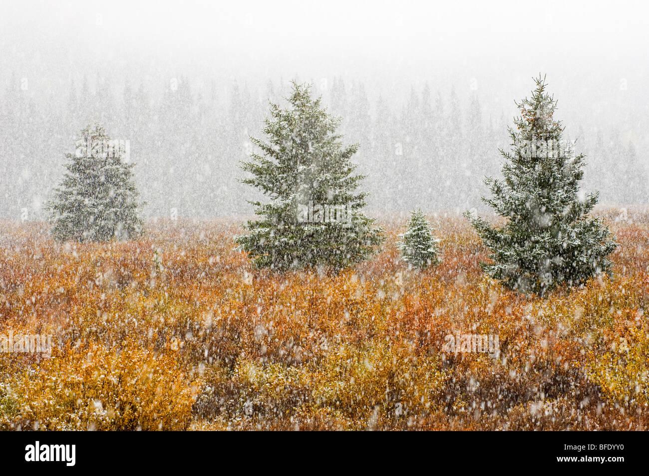 Neige sur meadow en couleurs de l'automne, Banff National Park, Alberta, Canada Photo Stock