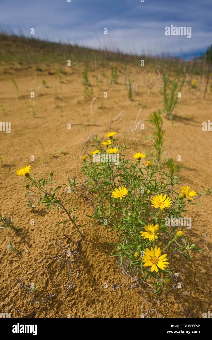 Fleurs jaunes qui poussent sur les dunes de sable le long du sentier Spirit Sands, parc provincial de Spruce Woods, Photo Stock
