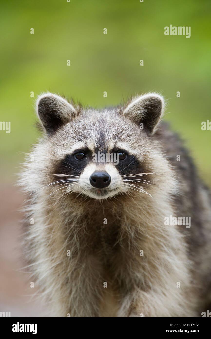 Politique raton laveur (Procyon lotor), le Parc provincial Killarney, Ontario, Canada Photo Stock