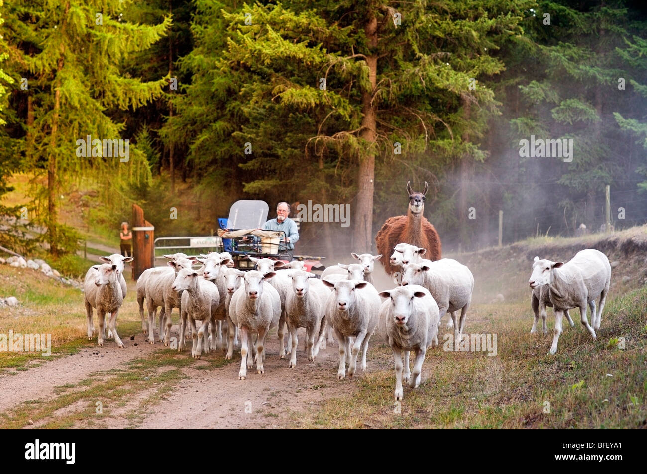 Troupeaux de moutons sur Sage ferme, Rock Creek, British Columbia, Canada, d'Agriculture, les gens, l'agriculture, Photo Stock