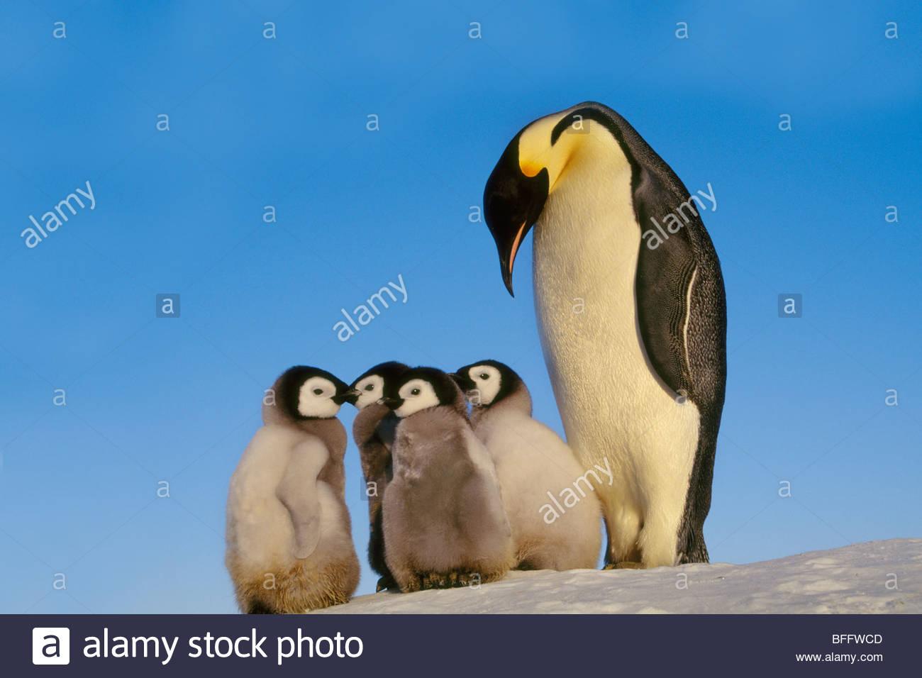 Manchot Empereur avec les poussins, Aptenodytes forsteri, Antarctique Photo Stock