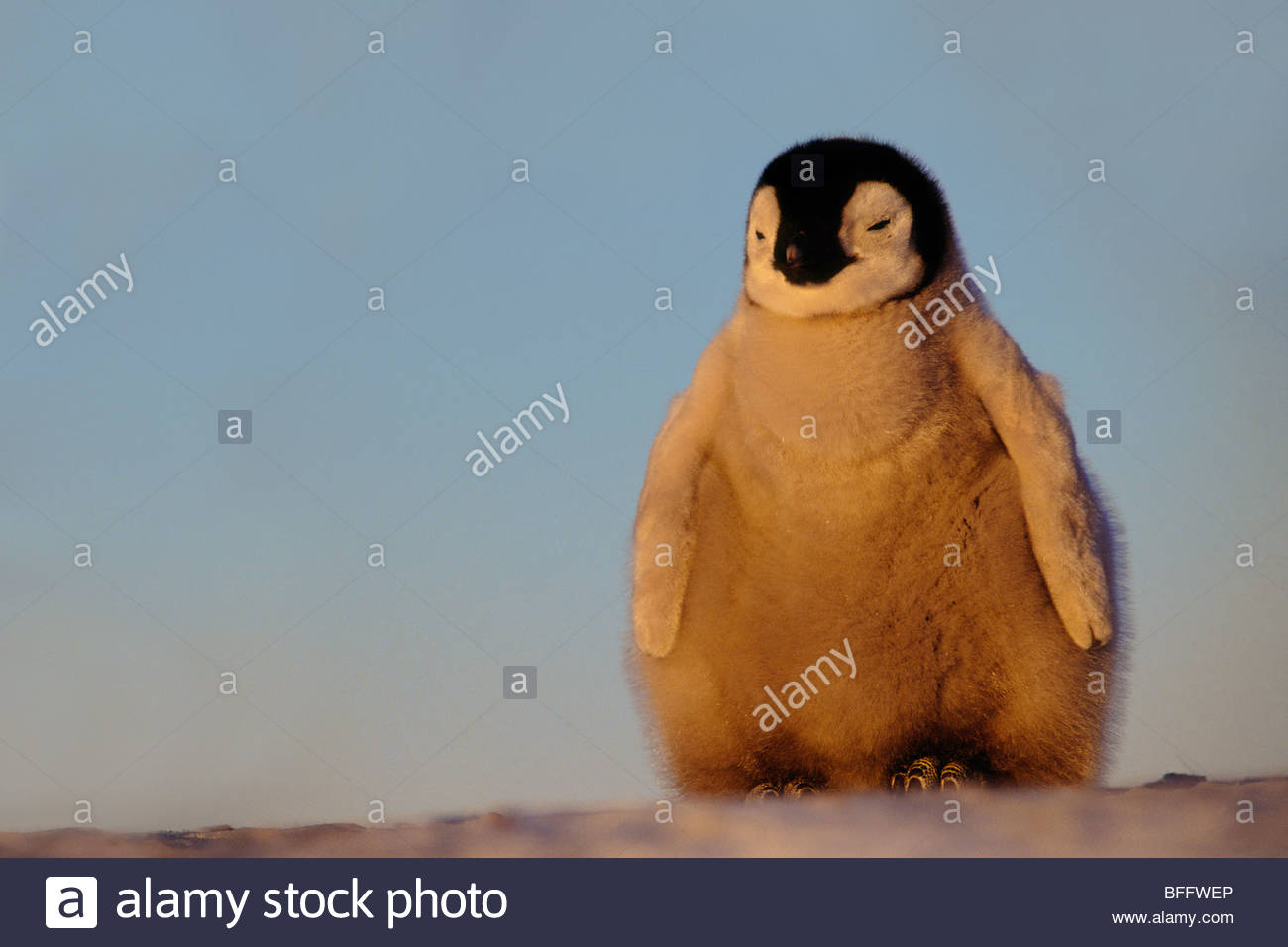 Poussin manchot empereur, Aptenodytes forsteri, Antarctique Photo Stock