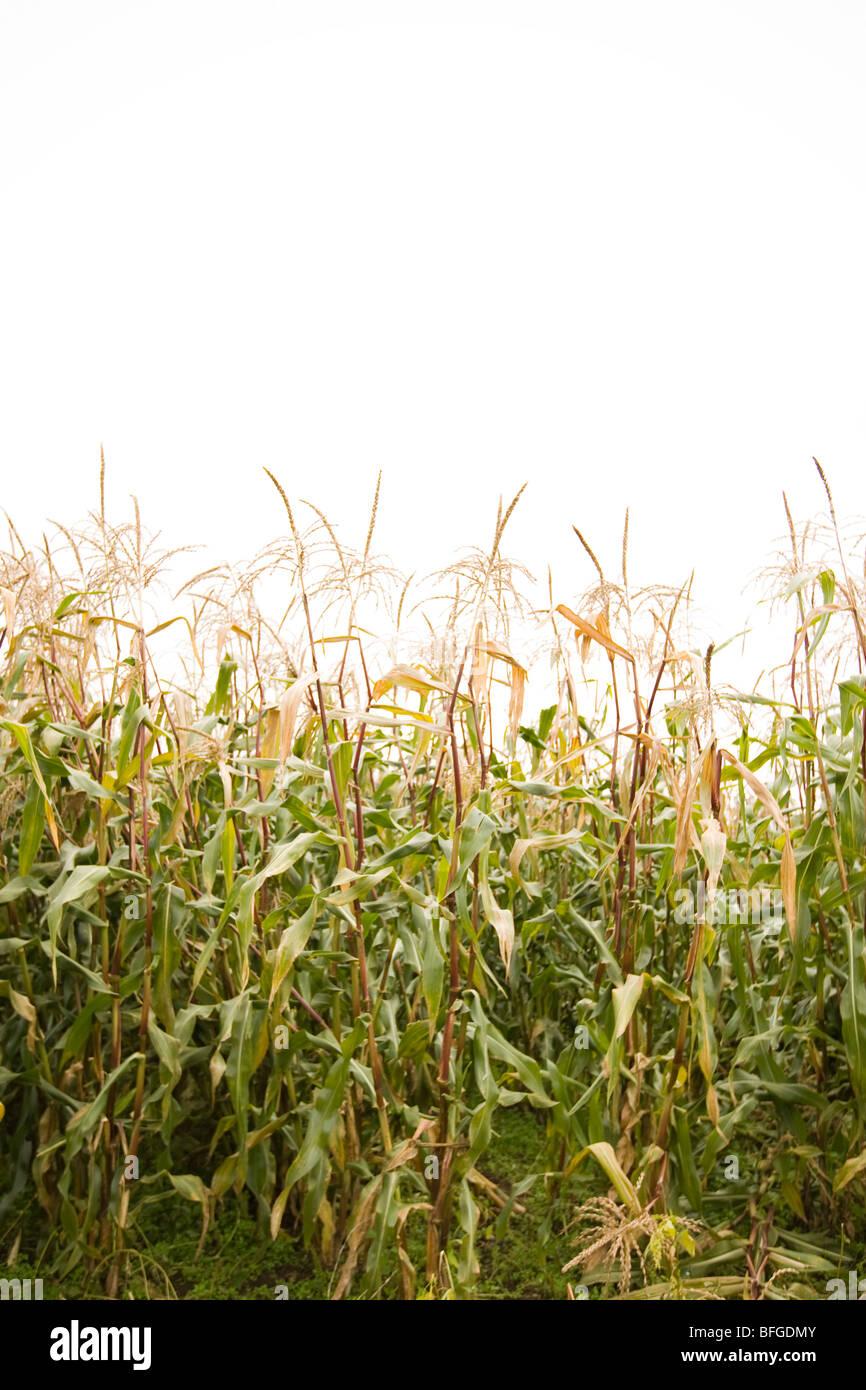 L'agriculture de tiges de maïs Photo Stock