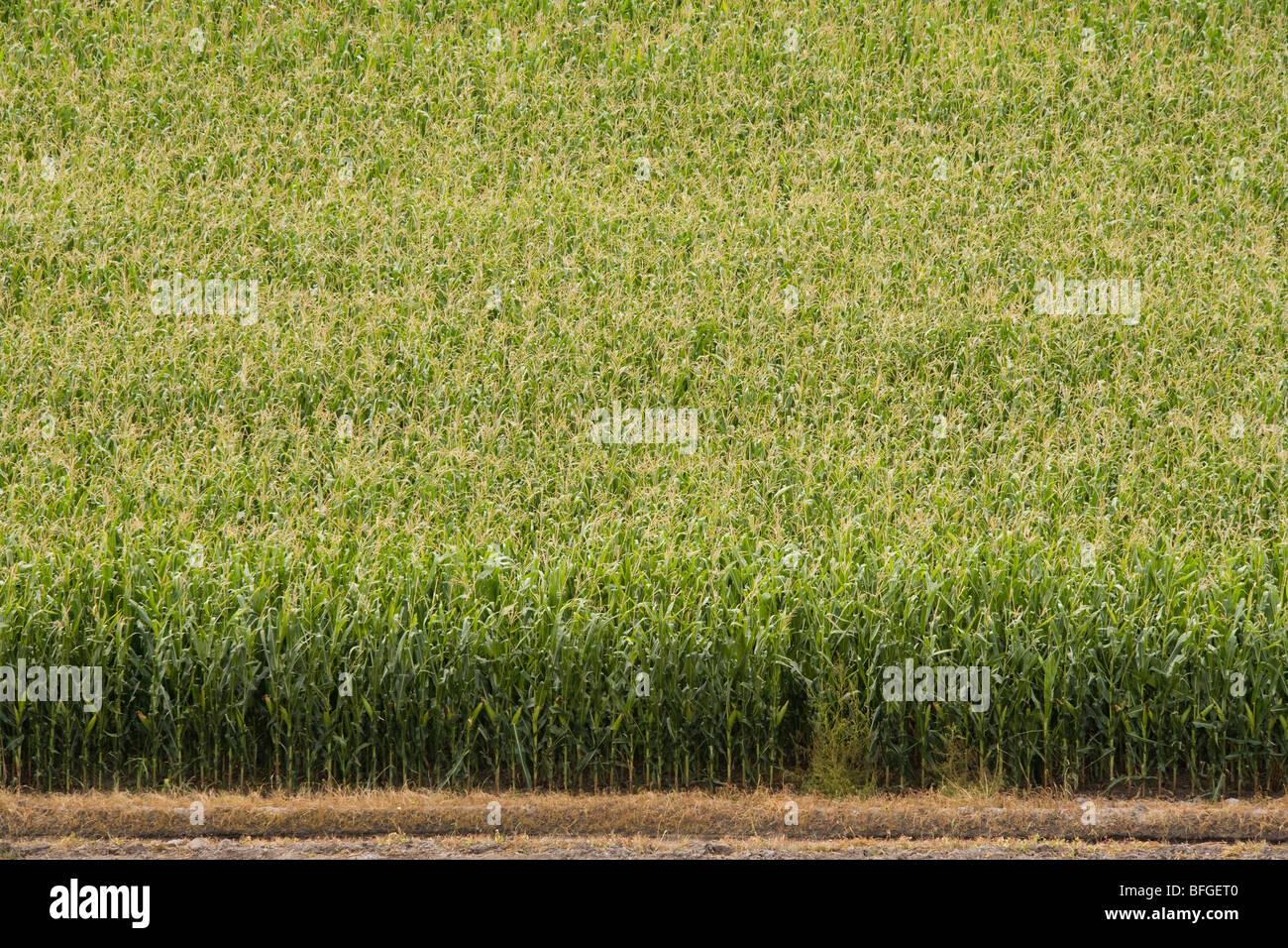 Vue aérienne d'un champ de maïs le maïs américain en été. Oxford, Ohio, NE NOUS Photo Stock