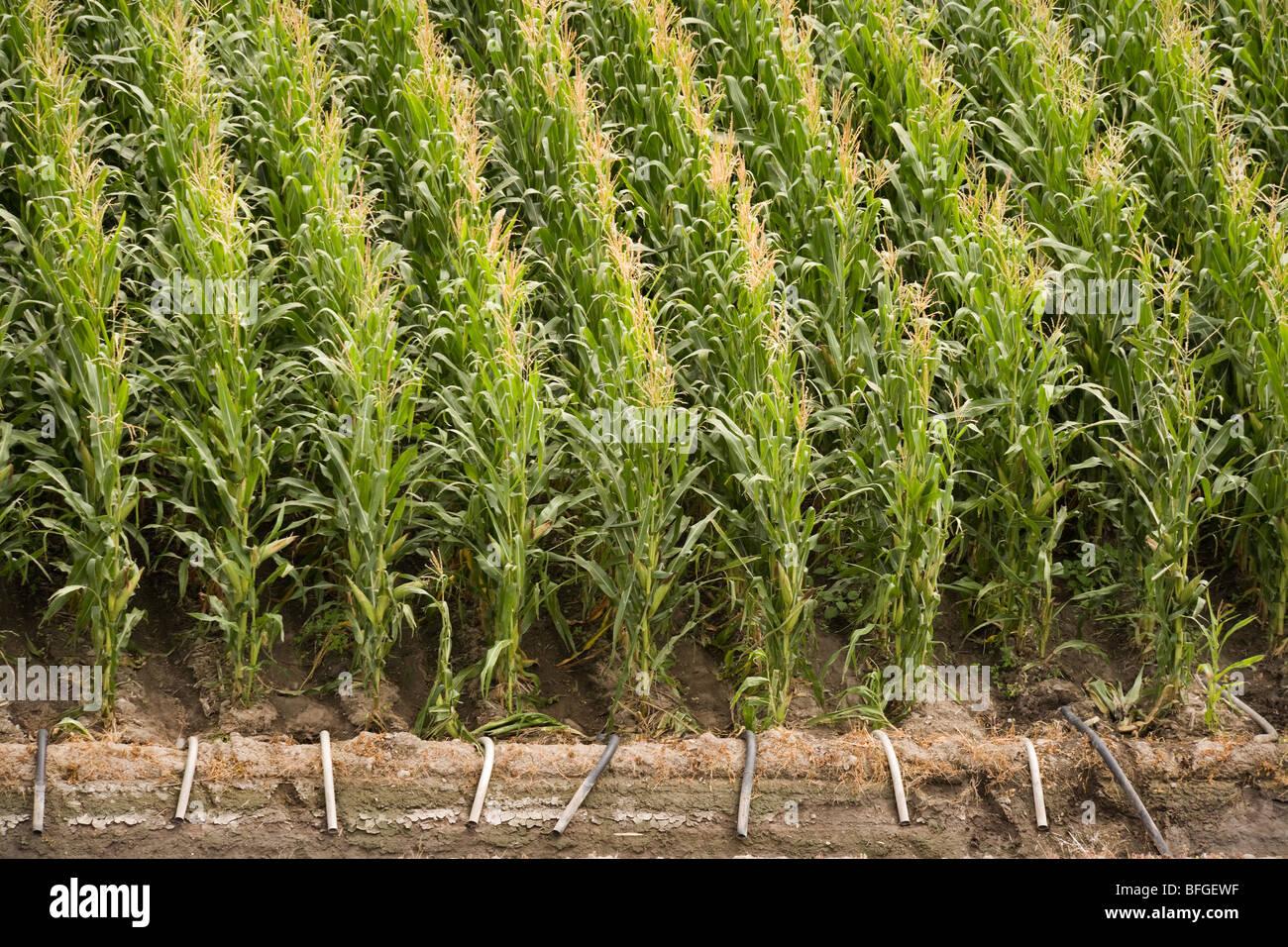 Vue aérienne d'un champ de maïs le maïs américain avec l'irrigation en été. Photo Stock