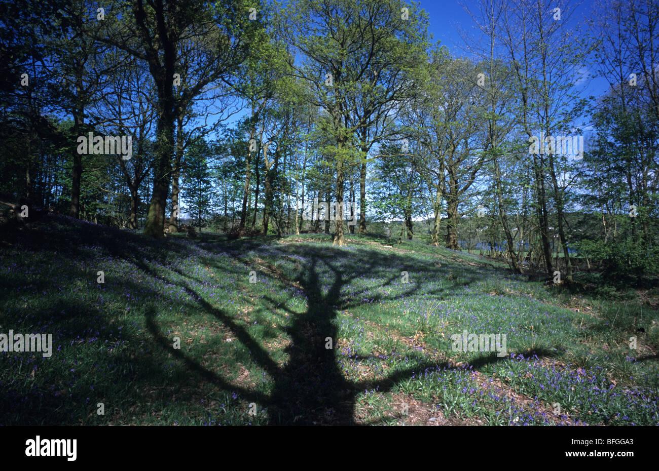 L'ombre d'un grand arbre et dans Cunsey jacinthes des bois, Windermere, Cumbria. Photo Stock