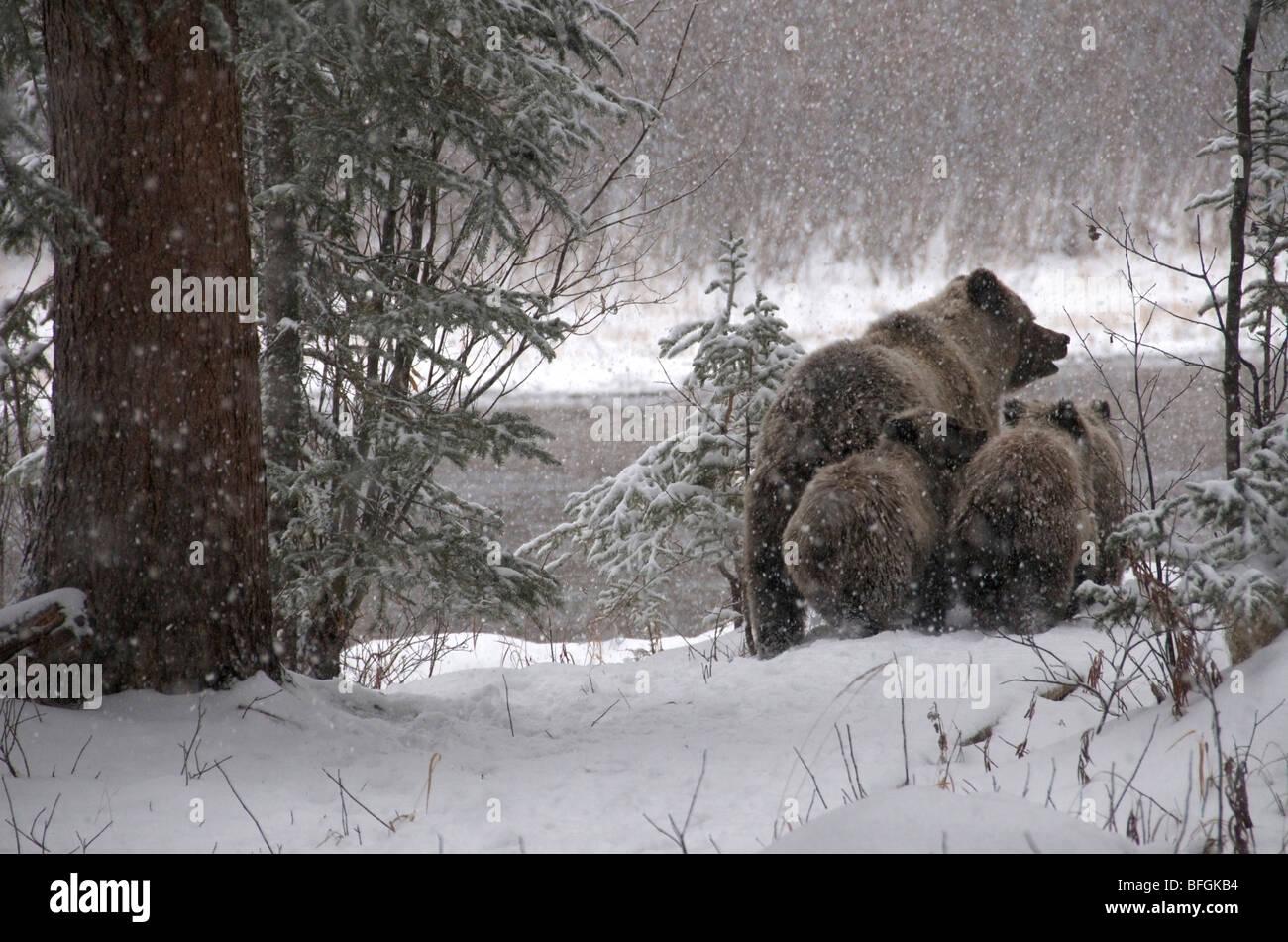Ours grizzli (Ursus arctos) sow et 1ère année d'oursons marche à travers la forêt enneigée. Photo Stock