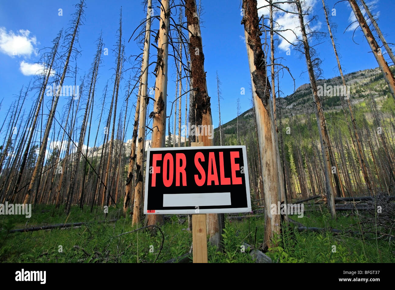 Arbres brûlés avec for sale sign. Le parc national Banff, Alberta, Canada Photo Stock