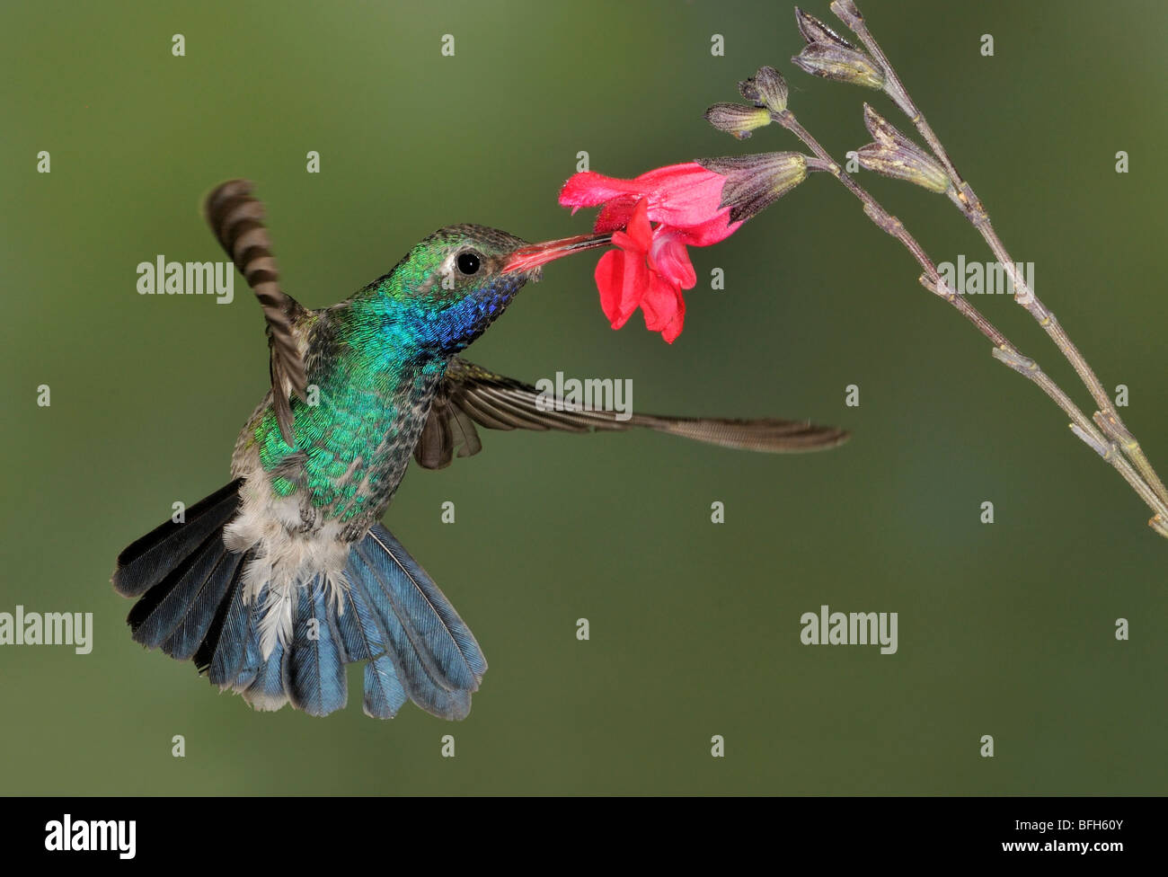 Homme large-billed Hummingbird (Cynanthus latirostris) planer à côté de fleur à tête d'éléphant Photo Stock