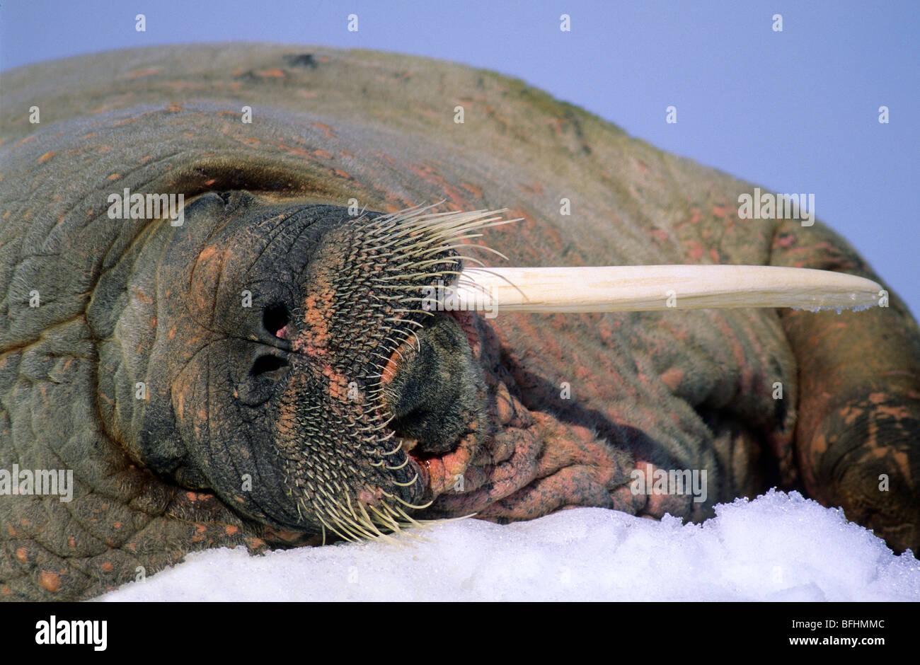 Morse de l'Atlantique (Odobenus rosmarus rosmarus) avec une fracture, tusk , archipel du Svalbard, Norvège Photo Stock