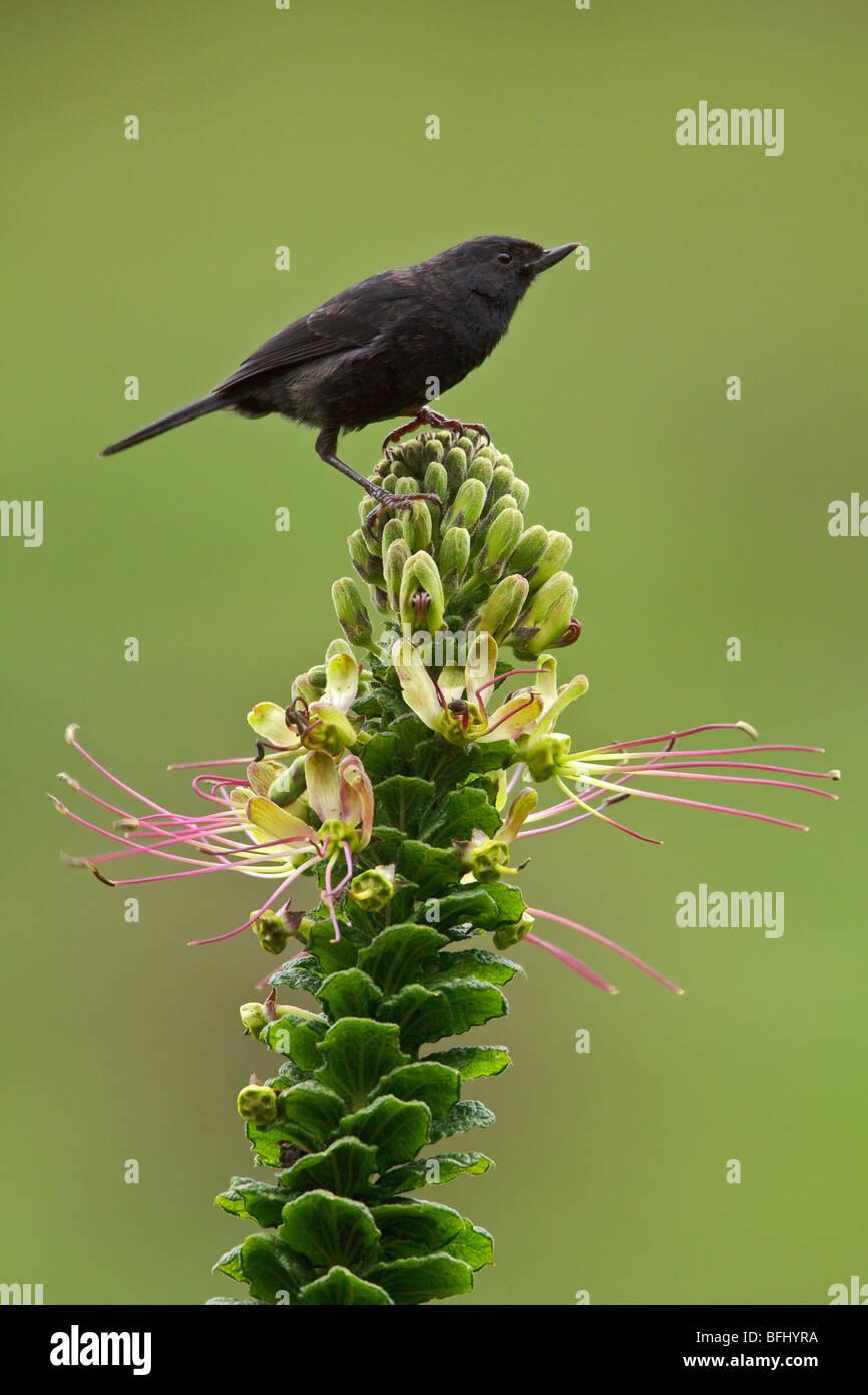Récent (Momotus humerialis noir) perché sur une branche près du col de Papallacta dans les hautes Photo Stock