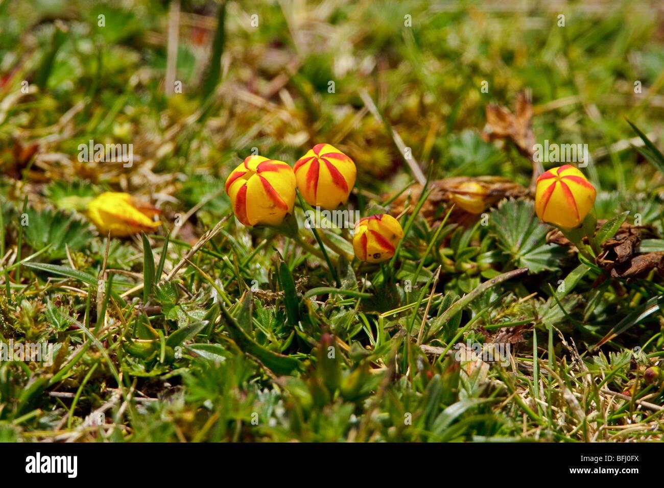 La Végétation Paramo dans Cajas National Park est le sud de l'Équateur. Photo Stock