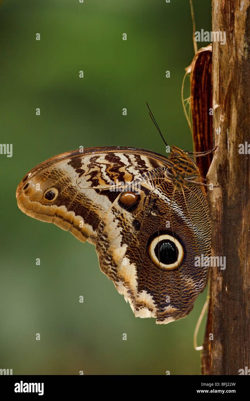 Un hibou papillon perché sur une branche de l'Milpe réserver dans le nord-ouest de l'Équateur. Photo Stock