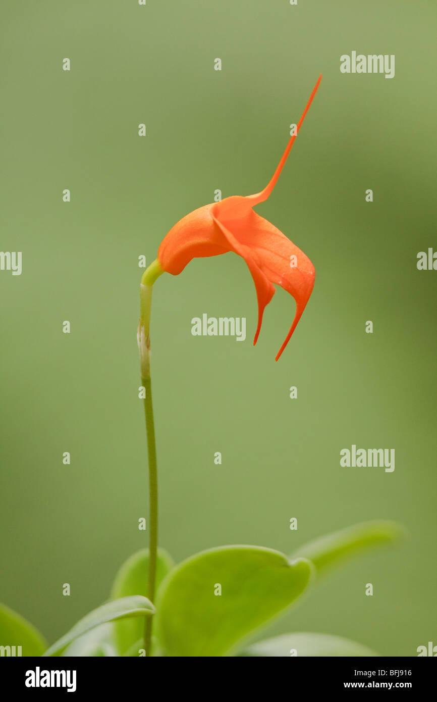 Une belle orchidée, fleur dans une forêt tropicale équatorienne. Photo Stock