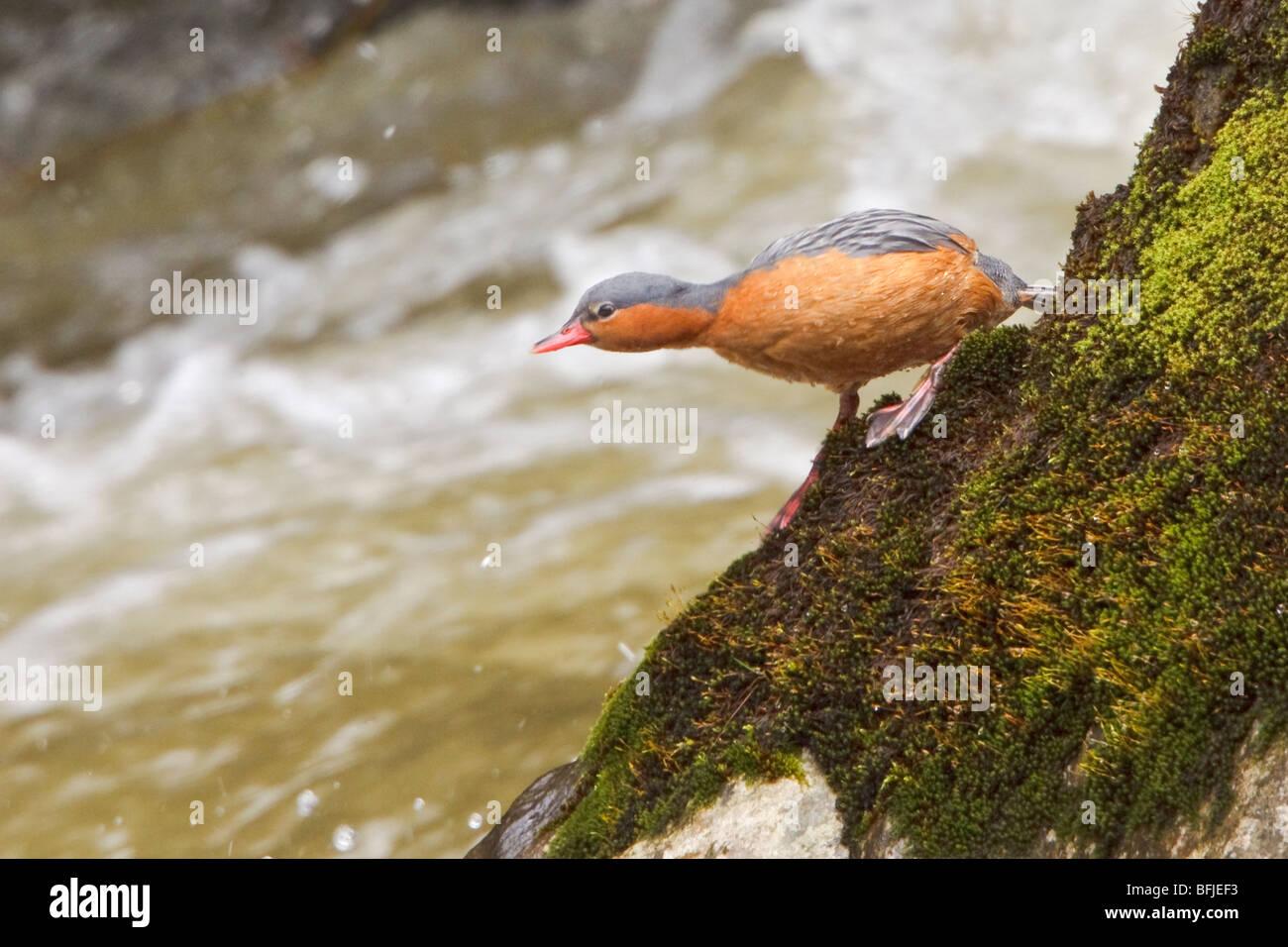Torrent Duck (Merganetta armata) perché sur un rocher à côté d'un flux de précipitation Photo Stock