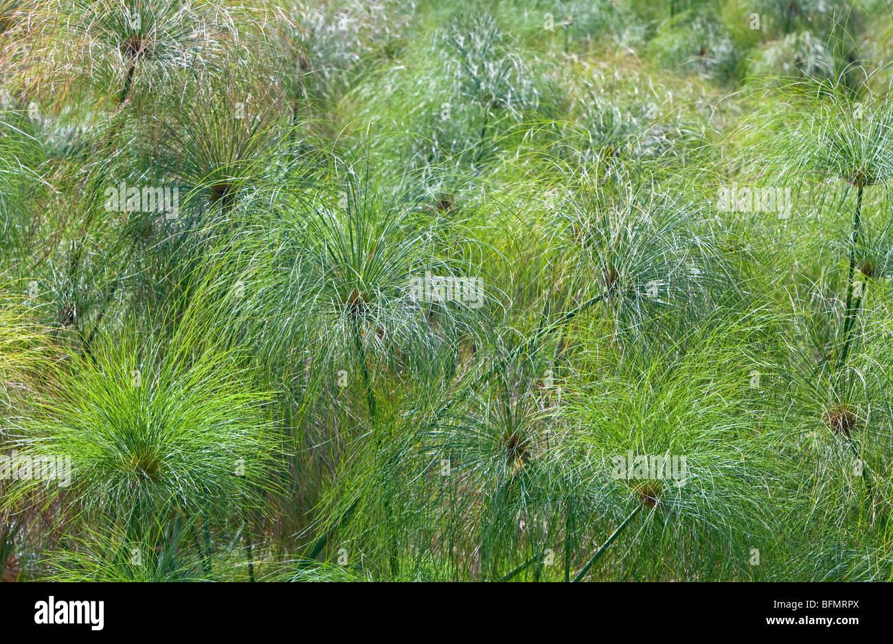 De plus en plus de papyrus dans un marais d'eau douce alimenté par un printemps près du lac Bogoria. Banque D'Images