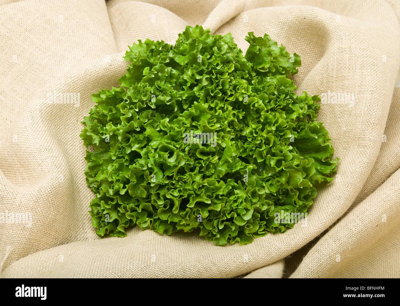 Une tête de laitue Lollo Verde (variété) joliment affichée. Photo Stock