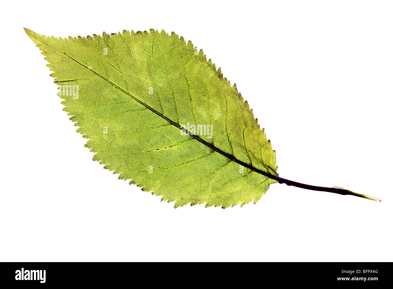 Green natural leaf isolated over a white background Photo Stock