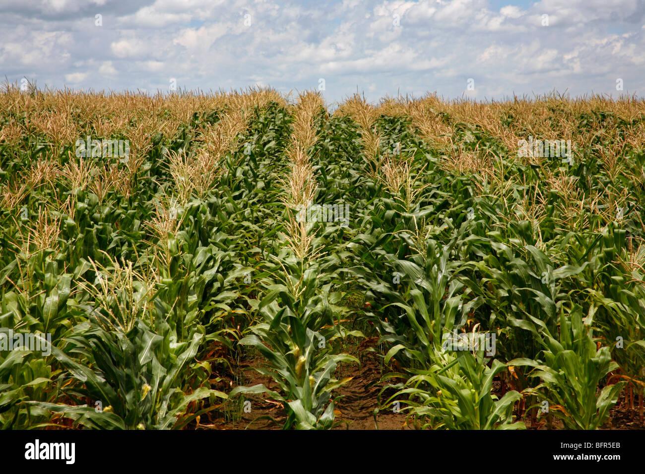 Domaine de plants de maïs Photo Stock