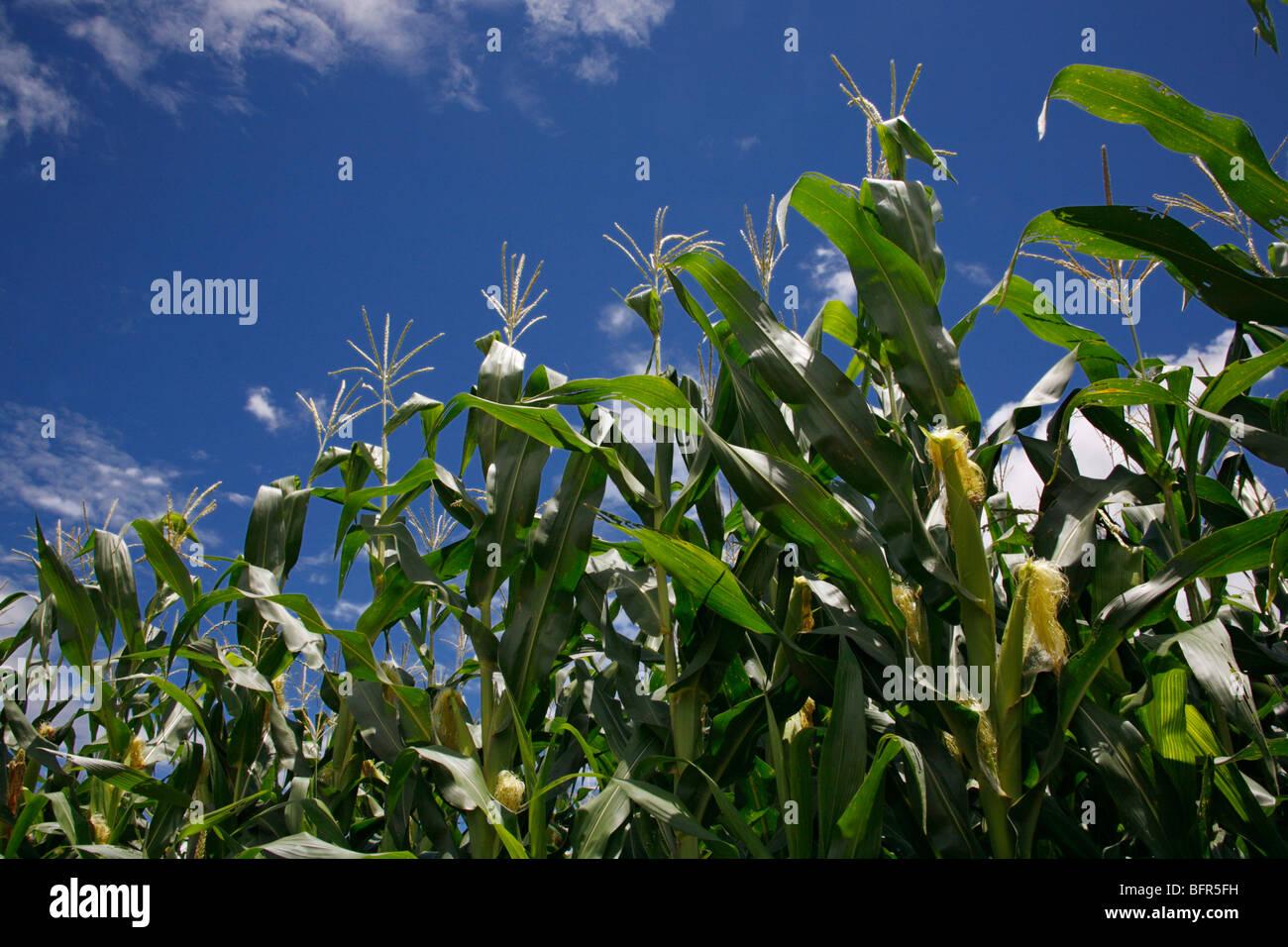Faible angle de vue des plants de maïs presque prêts pour la récolte Photo Stock