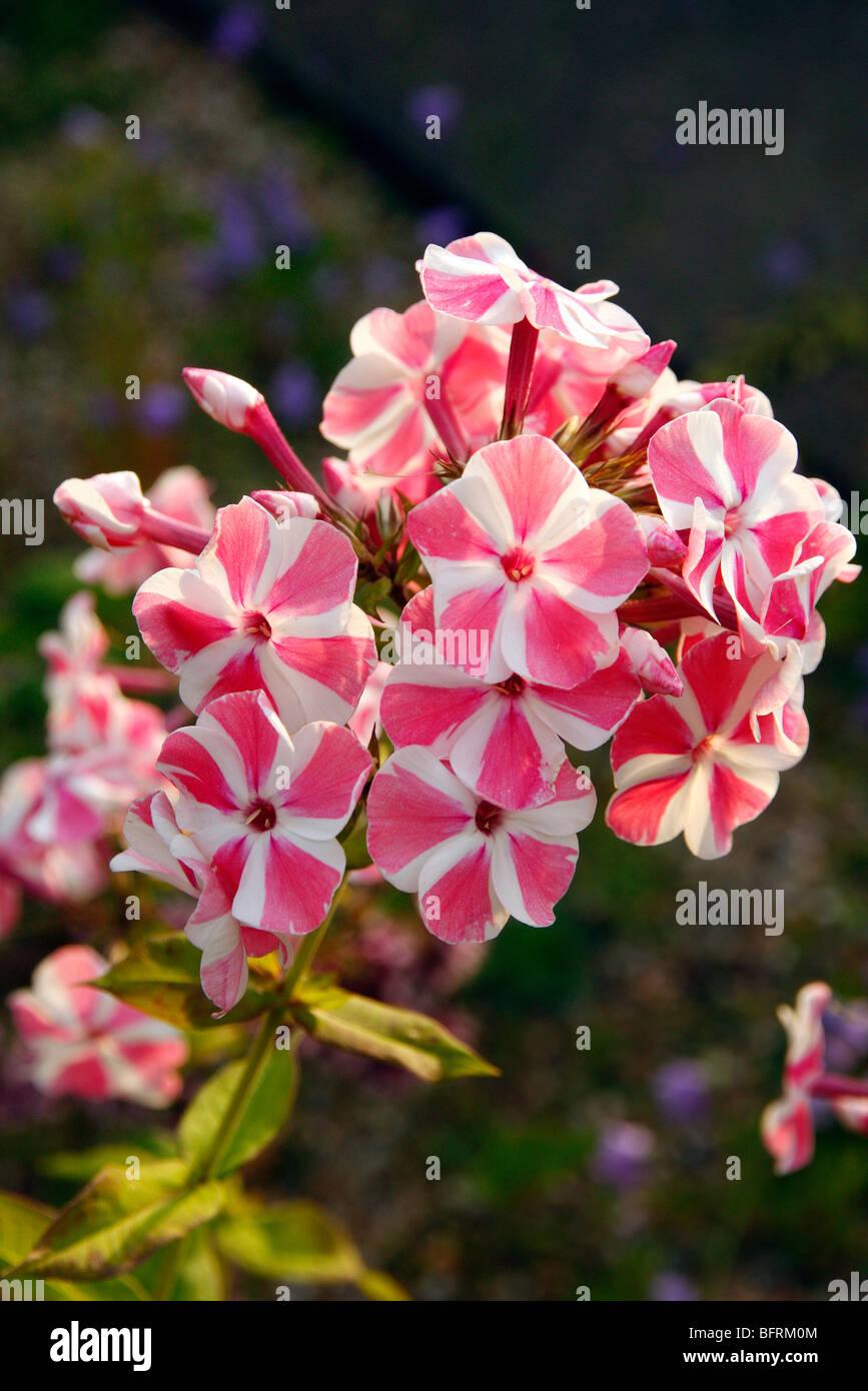 Phlox paniculata 'Peppermint Twist' Photo Stock