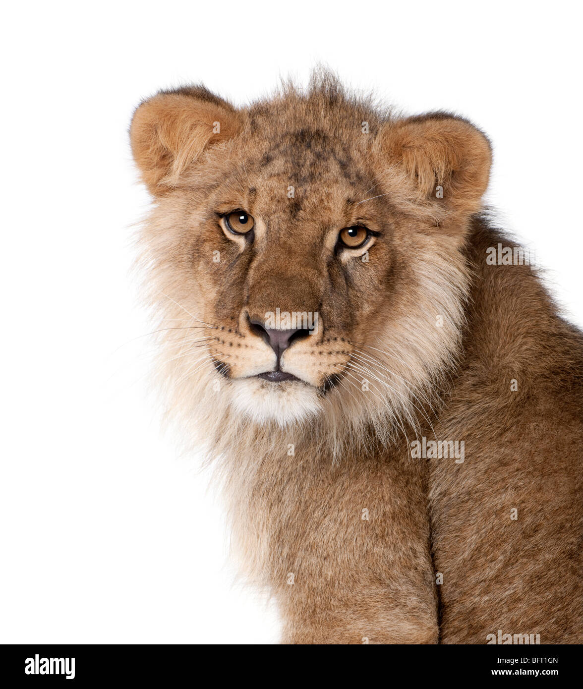 Lion, Panthera leo, 9 mois, devant un fond blanc, studio shot Photo Stock