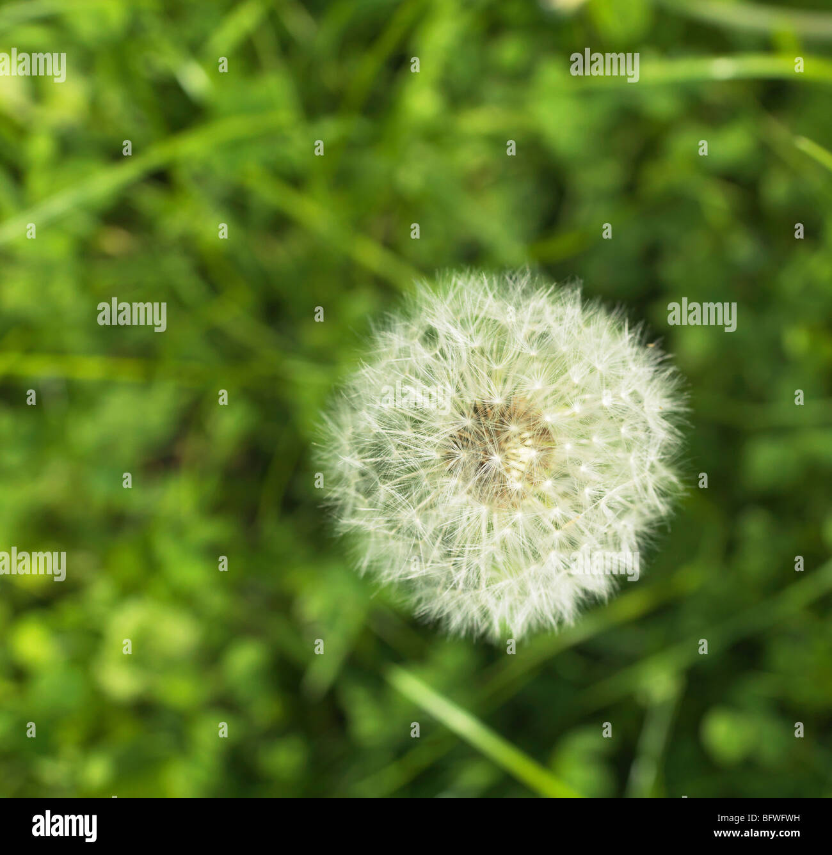 Pissenlit dans le champ, bird's eye view Banque D'Images