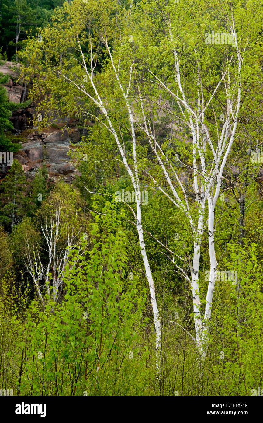 Les troncs de bouleaux et le feuillage frais, Grand Sudbury, Ontario, Canada Photo Stock