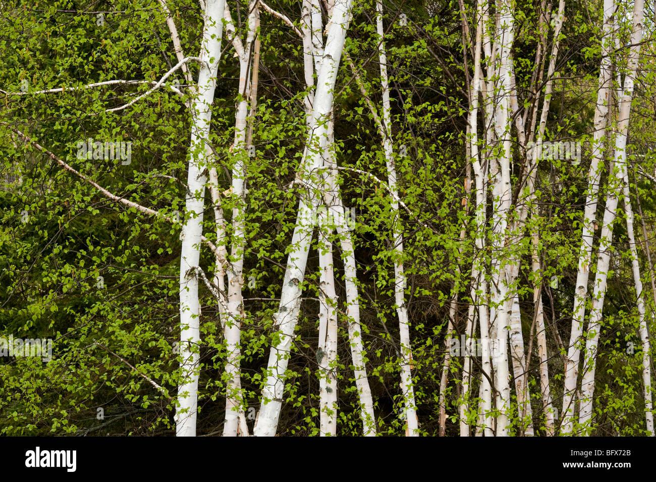 Les troncs de bouleaux et beaverpond en face d'un grand arbre à feuilles persistantes, le Grand Sudbury, Photo Stock