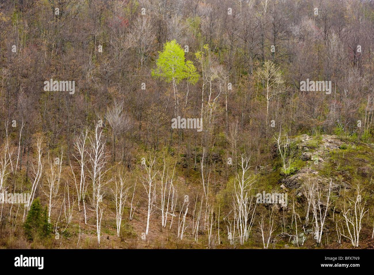 Les trembles et les bouleaux dans la vallée de printemps du point de vue élevé, le Grand Sudbury, Ontario, Canada Banque D'Images