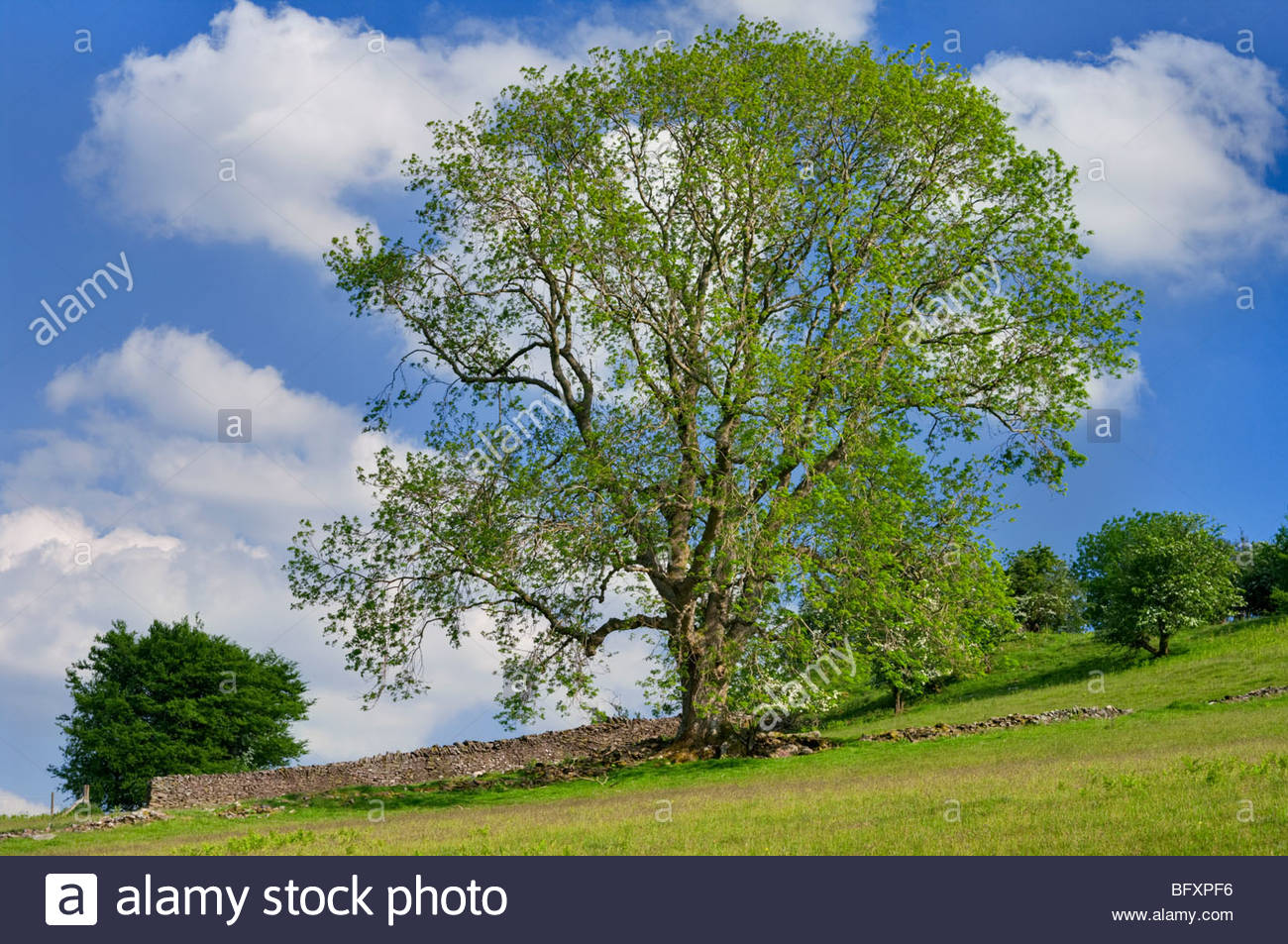Ash Tree in spring; Powys Pays de Galles UK Photo Stock