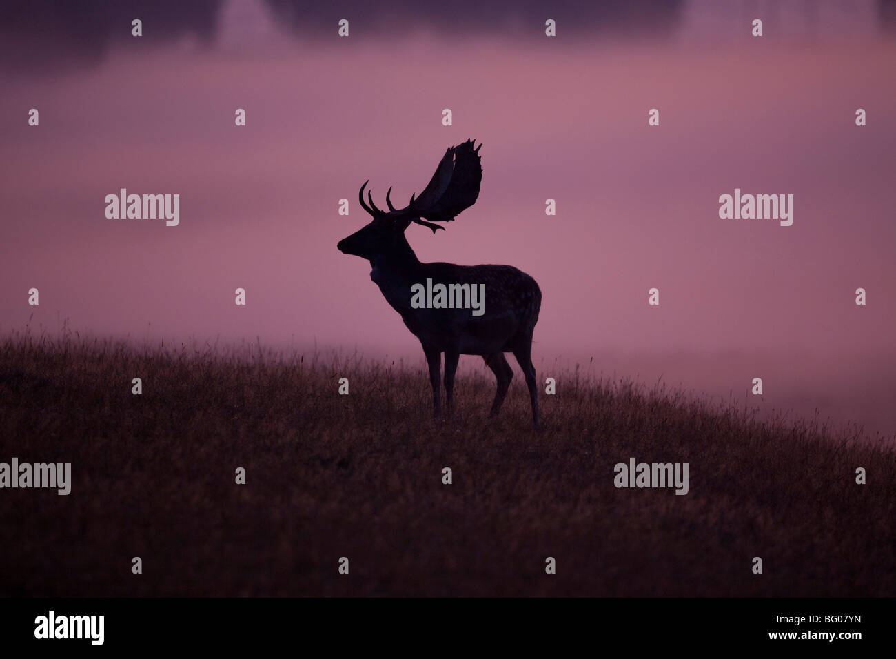 Le daim (Dama dama), stag contre un fond brumeux. Photo Stock