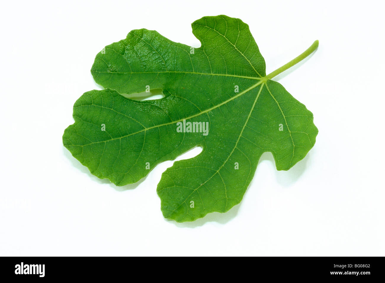 Fig commun (Ficus carica), feuille, studio photo. Photo Stock