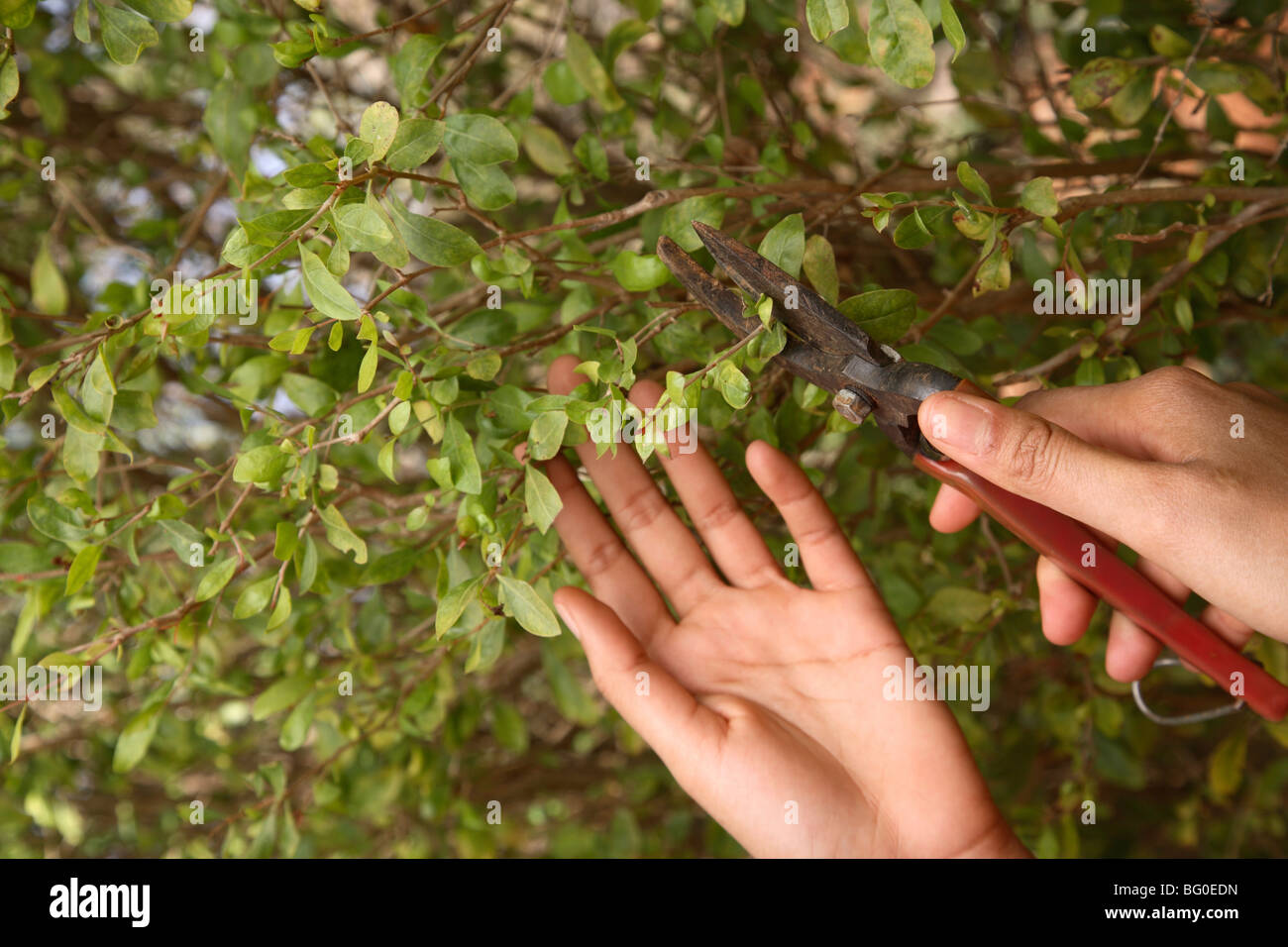 Mehend Plante, utilisé pour l'art corporel au henné indien Photo Stock