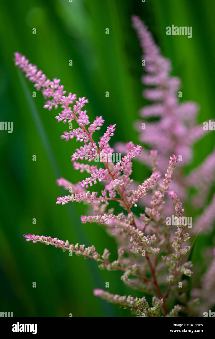 astilbe rose banque d'images, photo stock: 27105856 - alamy