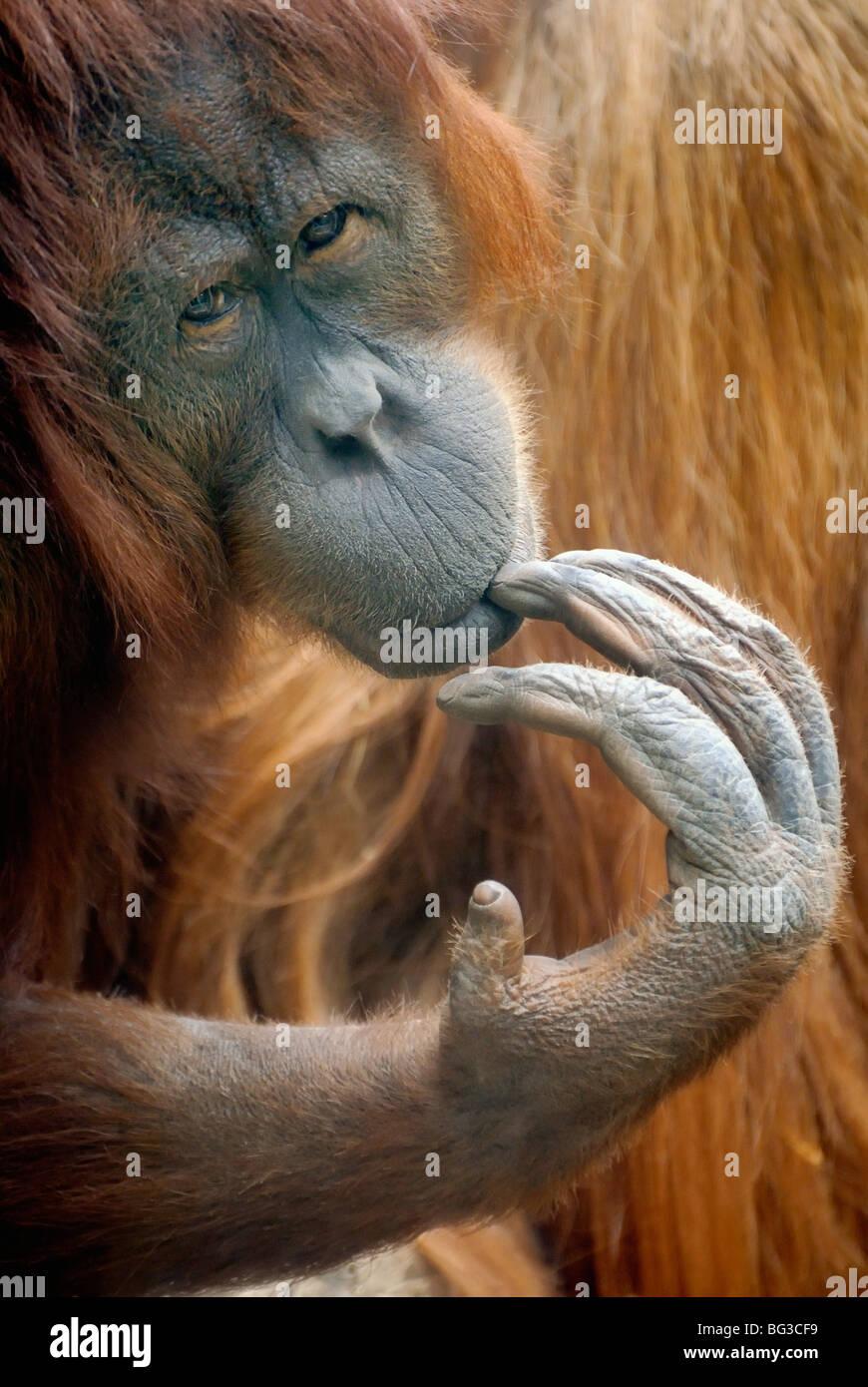 L'orang-outan de Bornéo / Pongo pygmaeus Photo Stock