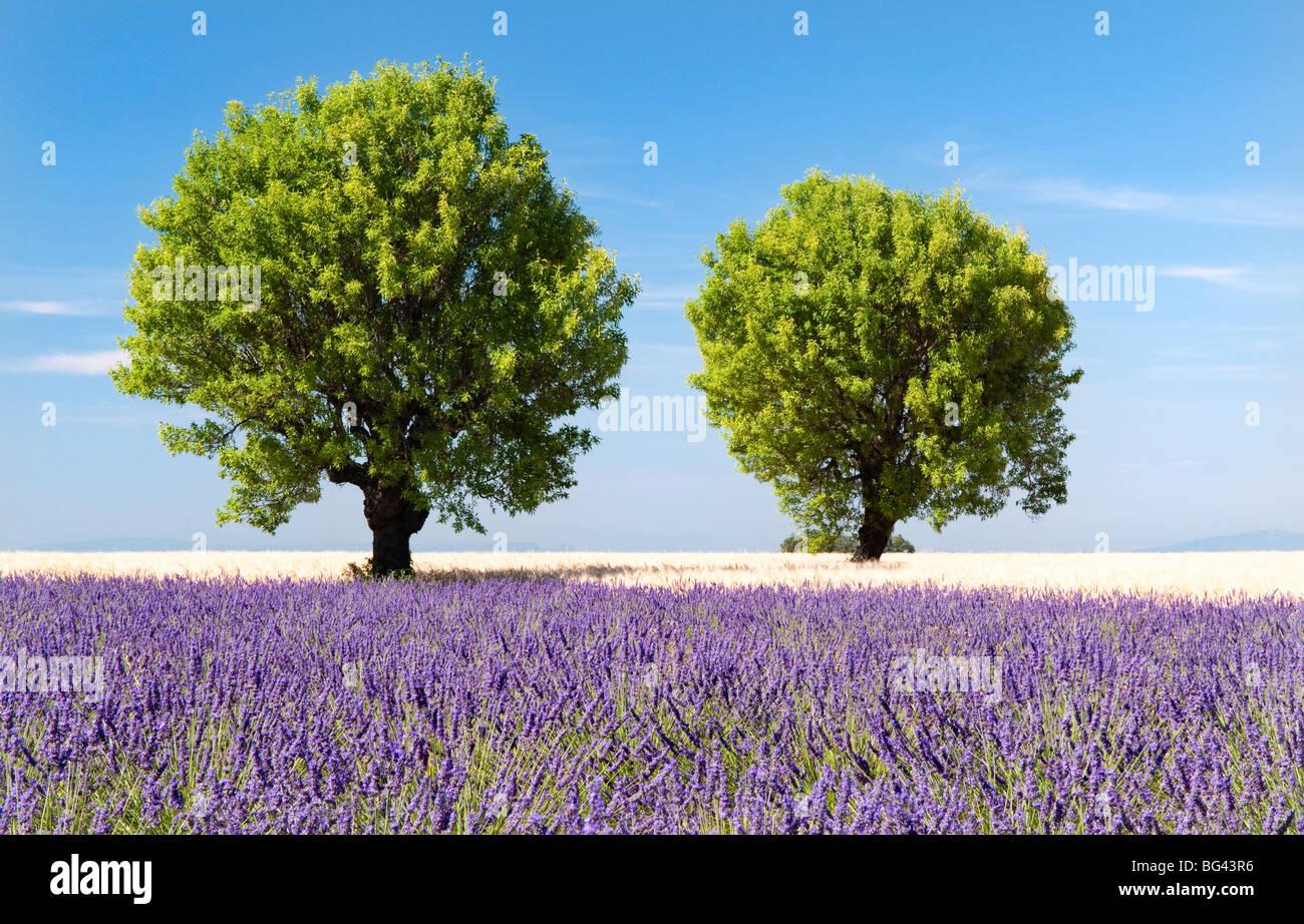 Deux arbres dans un champ de lavande, Provence, France Banque D'Images