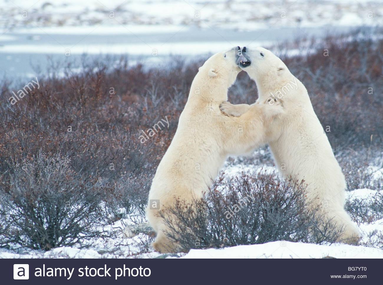 L'ours polaire (Ursus maritimus) playfighting sur tundra près de Churchill, Manitoba, Canada Banque D'Images