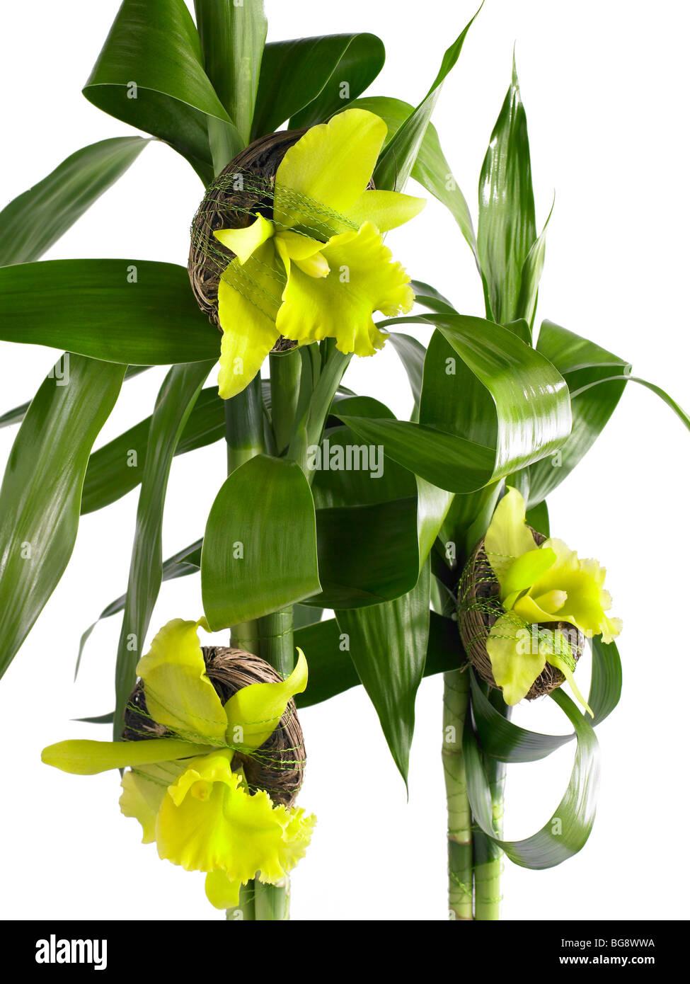 Orchidées jaunes avec coco et bambou sur fond blanc Photo Stock