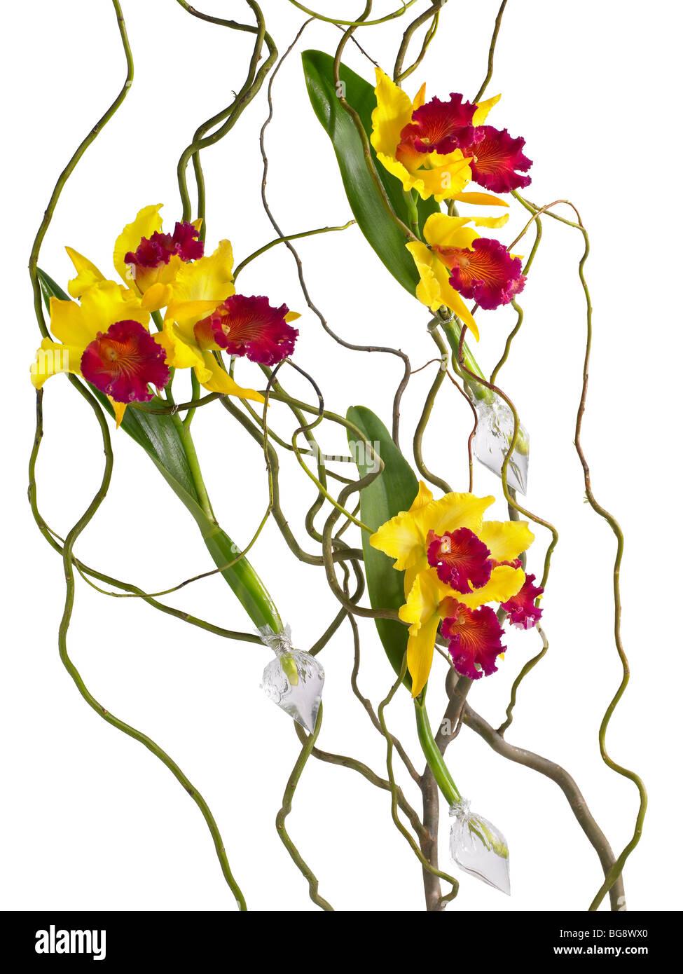 Orchidées jaunes avec des brindilles sur fond blanc Photo Stock