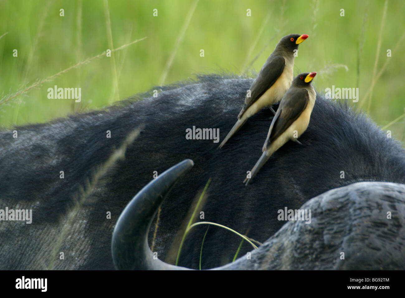 Yellow-oxpeckers sur buffle, Masai Mara, Kenya Photo Stock