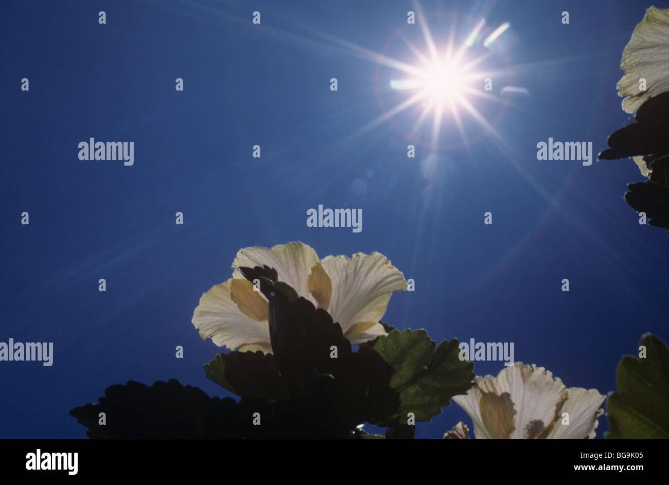 Fleur d'Hibiscus contre le soleil, Afrique du Sud Photo Stock