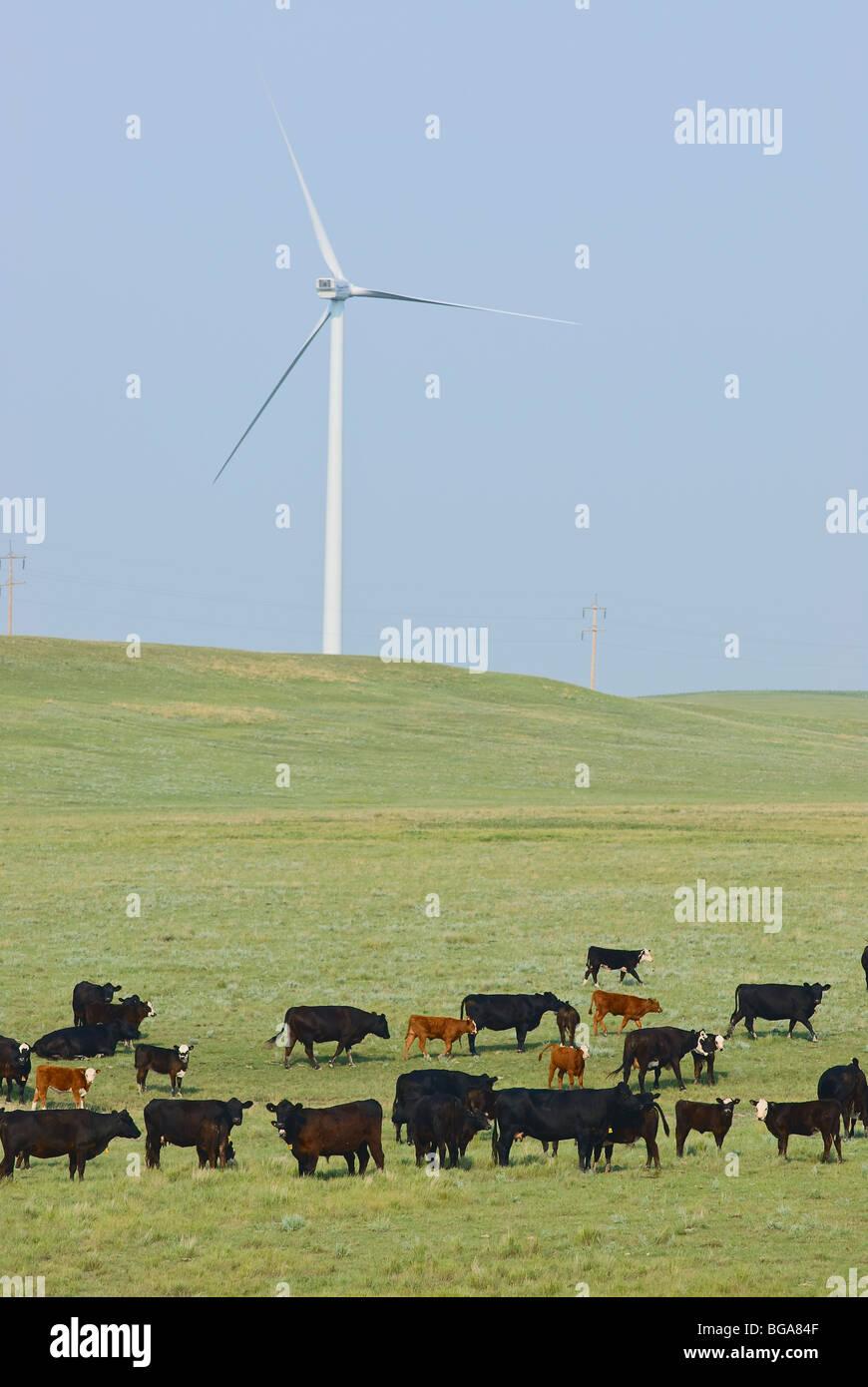L'utilisation mixte des terres. Le bétail sur des parcours avec les éoliennes. Photo Stock