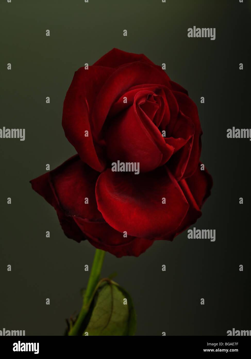 Rose rouge Banque D'Images