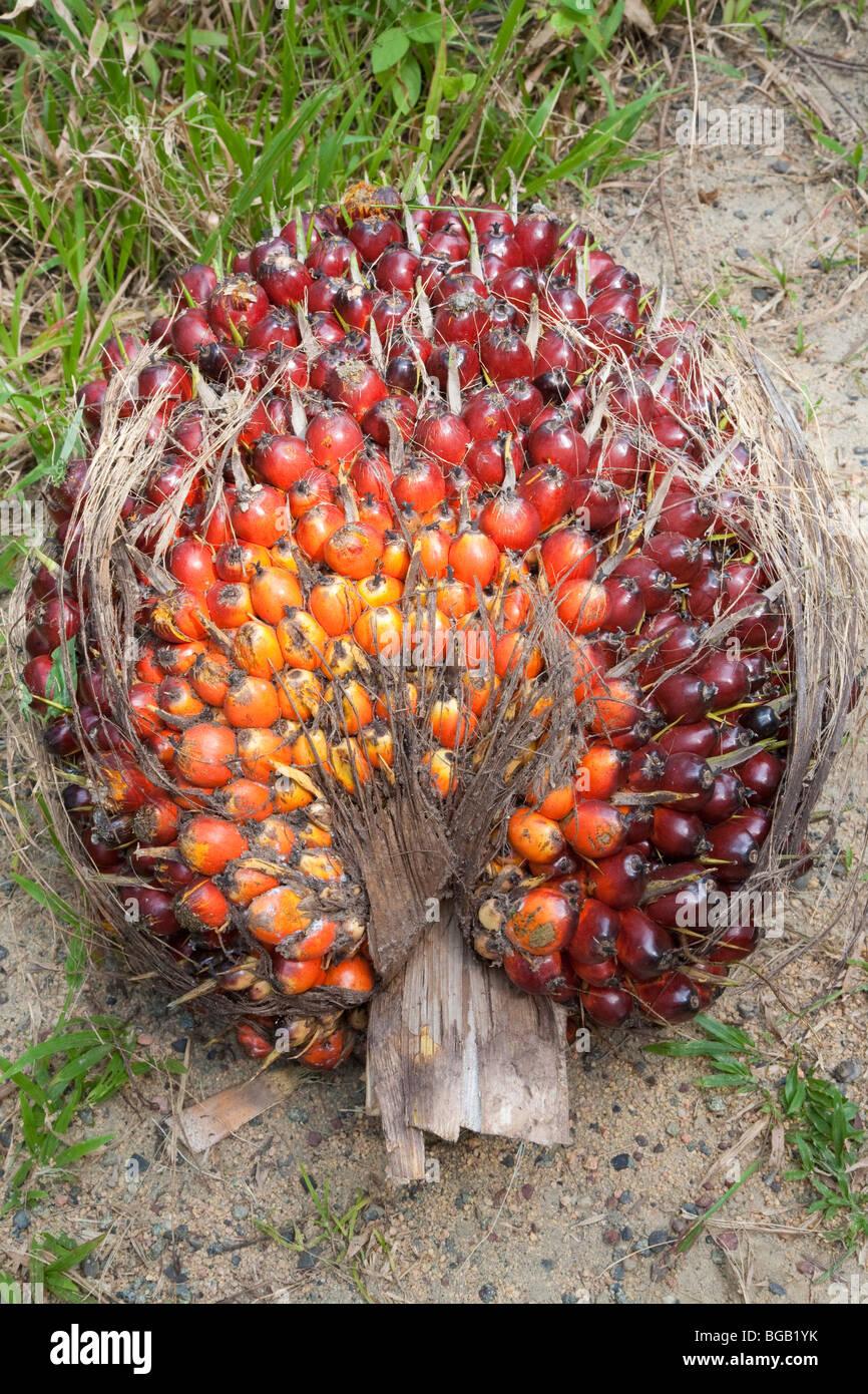 un gros plan d 39 un bouquet de fruits frais ffb du palmier huile a r cemment r duit d 39 un arbre. Black Bedroom Furniture Sets. Home Design Ideas
