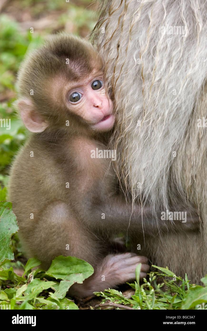 Macaque japonais bébé accroché à la fourrure de la mère (Macaca fuscata) Photo Stock