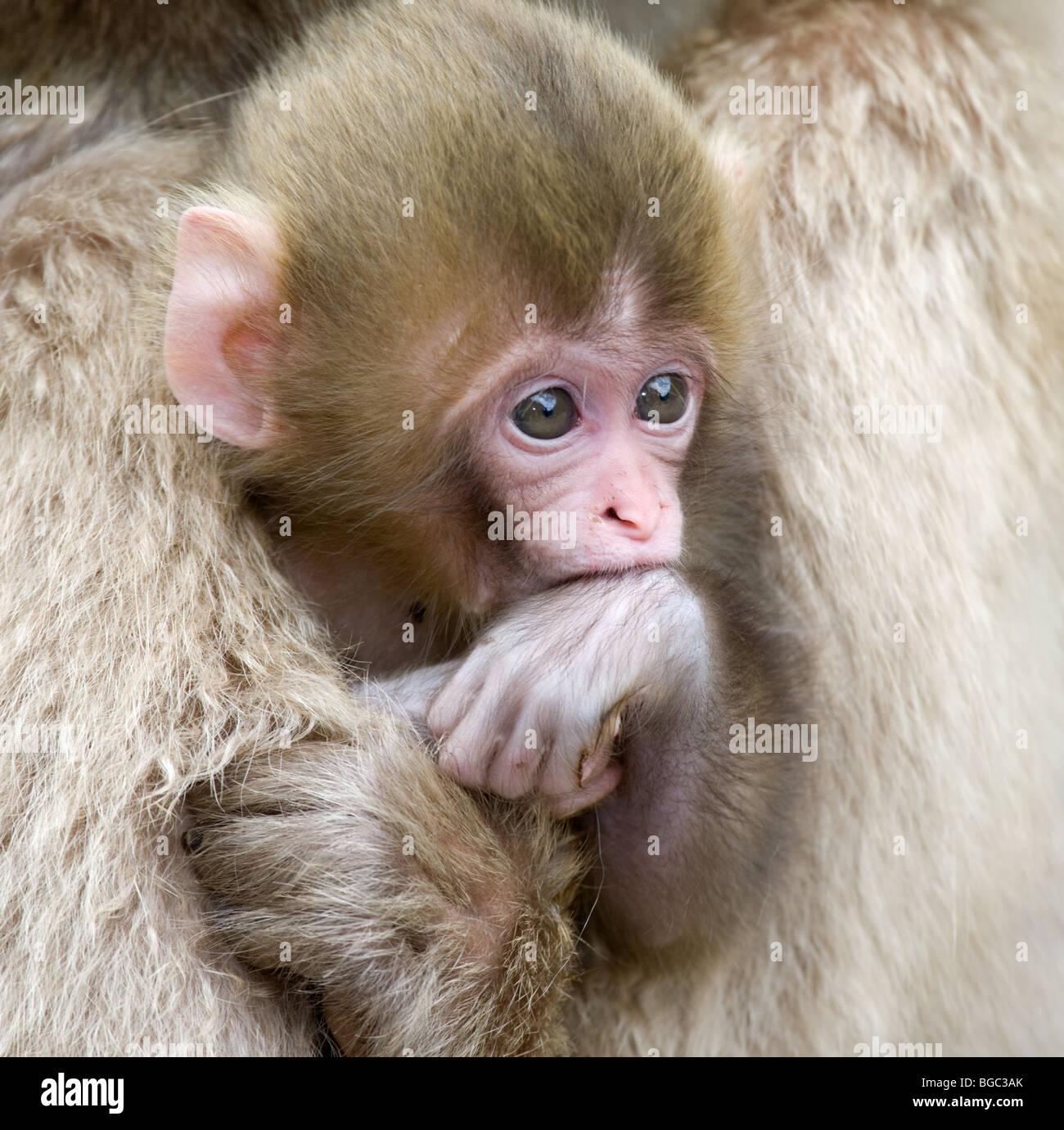 Bébé Macaque japonais (Macaca fuscata) dans les bras de mère Photo Stock